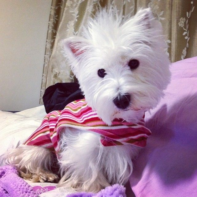 Pin By Judith Wells On Westhighland Terriers Westies Westie Terrier Cutest Dog Ever