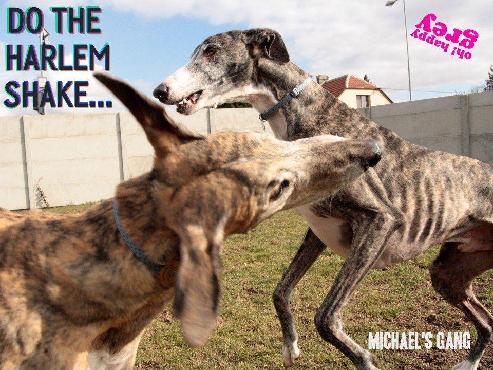 Www Facebook Com Happygrey Greyhound Doggy Jack Russell