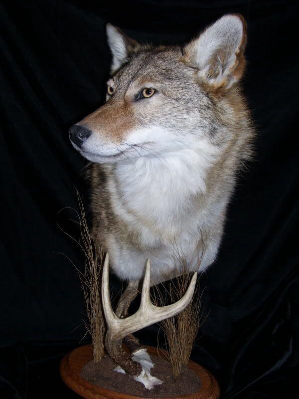 Coyote Animal Taxidermy Coyote Mounts Taxidermy