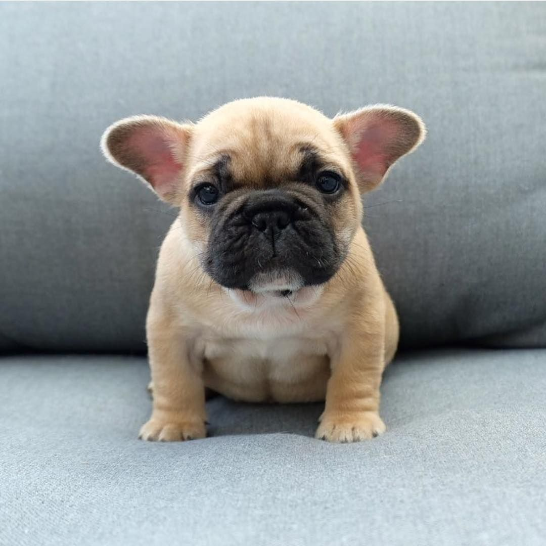 Pin By Roxanne Marshal On Puppies Pooches And Dogs Baby French