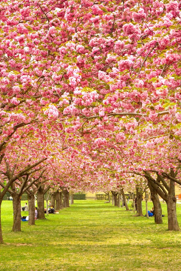 Cherry Blossom By Nathan Brisk On 500px Would Love To Get Married Under This Beautiful Tree Blossom Trees Beautiful Nature
