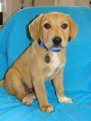 Adopt Tommy On Basset Hound Mix Labrador Retriever Dog Cute Dogs