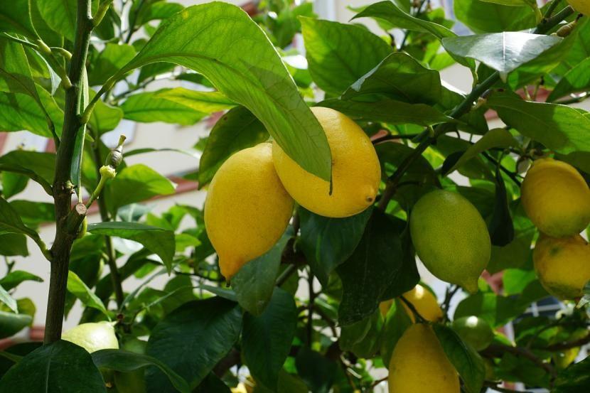 C mo plantar un limonero arboles frutales pinterest limonero jardiner a y plantas - Como plantar arboles frutales ...