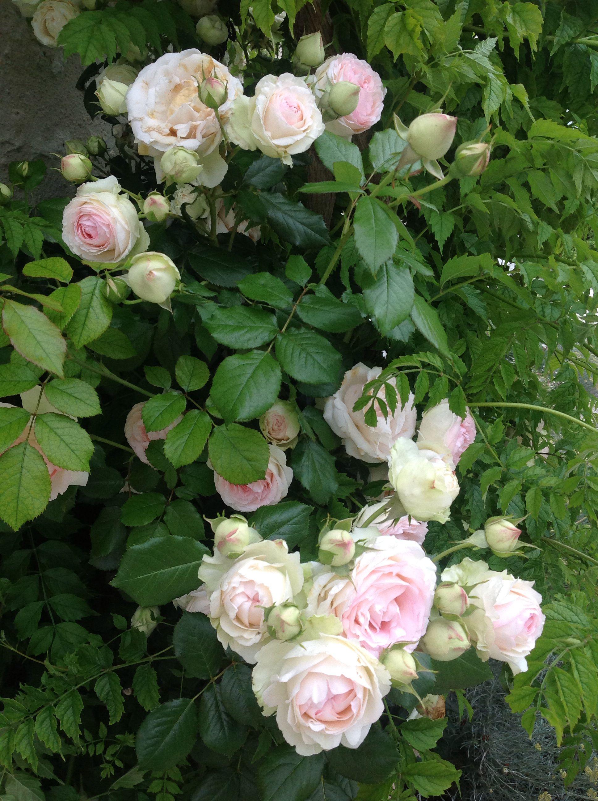 """Rosier """" Pierre de Ronsard"""" in my garden last spring. Розы"""