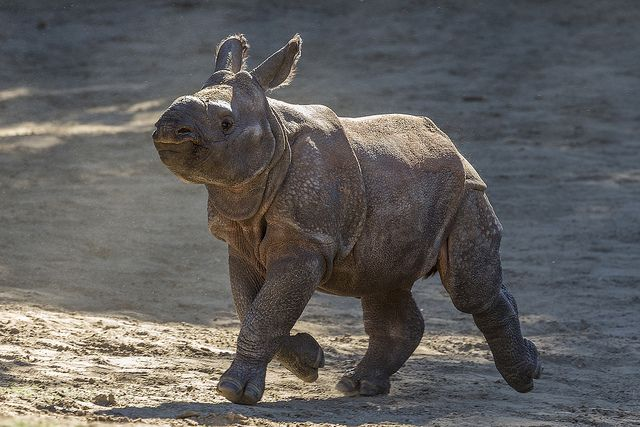 sdzsafaripark:  Introducing Shomili (Mili for short), the 65th greater one-horned rhino born here. Help us welcome her to the world.