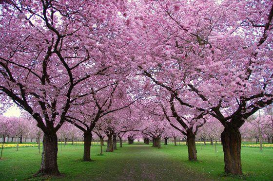 Cherry Blossom Grove Japanese Garden Blooming Trees Garden