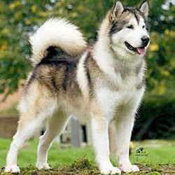 Alaska State Dog Alaskan Malamute Alaskan Malamute Malamute Dogs
