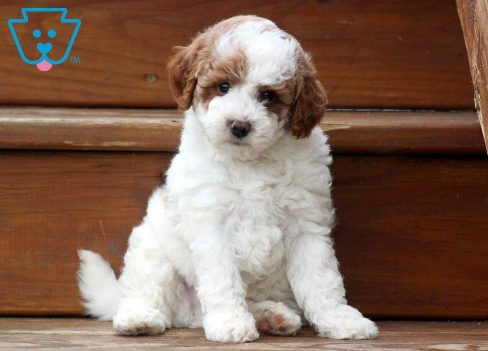 Maddox Cute Mixed Breed Puppies Poodle Mix Puppies Puppies Dogs