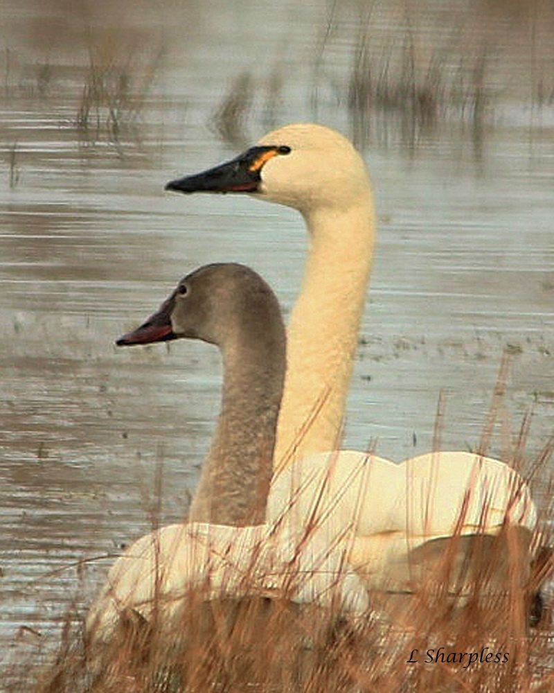Waterfowl Tundra Swans by Louise Sharpless Swan