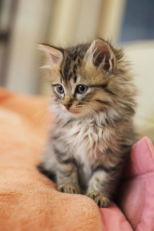 Most Friendliest Cat Breeds In The World Cat Animal And Kitty - 16 fluffy cute animal species world