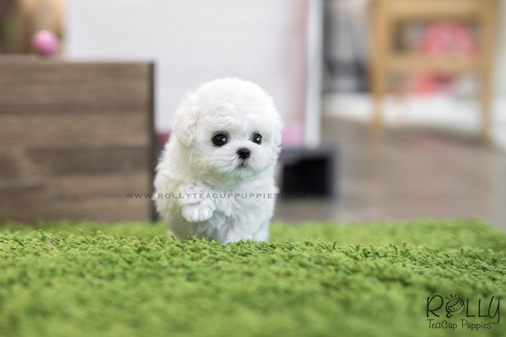 Sold To Kelly Mimi Bichon Frise F Rolly Teacup Puppies Teacup Puppies Bichon Frise Bichon
