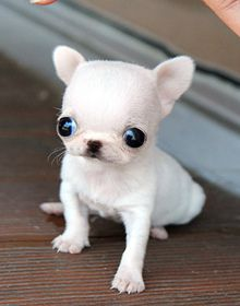 Little darling teacup chihuahua puppy Teacup chihuahua