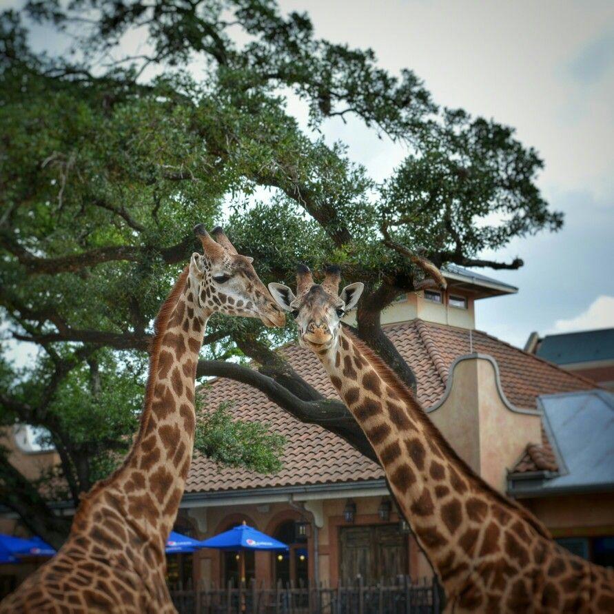 Adorable Giraffes at the Houston Zoo.
