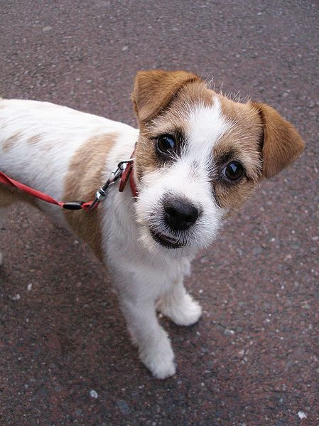 I love the intelligence/curiosity of a terrier! What a wise face.
