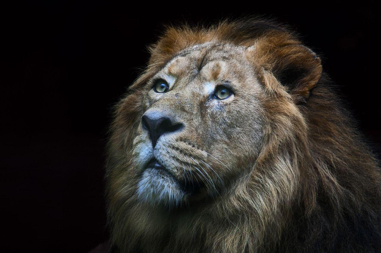 Free Image on Pixabay Lion, Wild, Animals, Nature