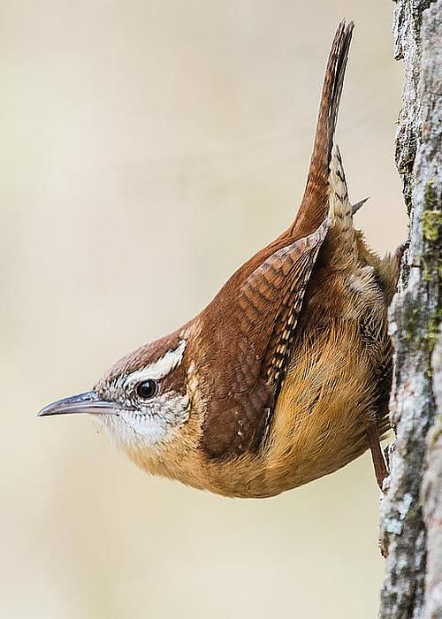 carolina wren greeting card for sale by mitch wessels vogel sch ne v gel und heimische v gel. Black Bedroom Furniture Sets. Home Design Ideas