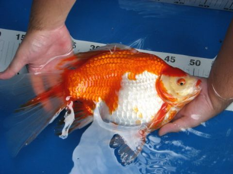 Goldfish - Huge Comet | fish and aquarium ideas | Goldfish