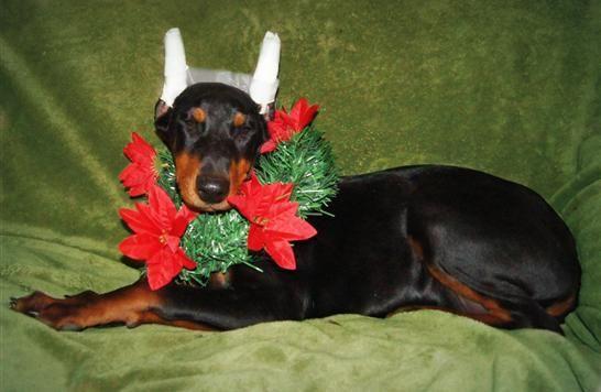 Christmas Dobie Doberman Puppy Wearing A Wreath Christmas Pup