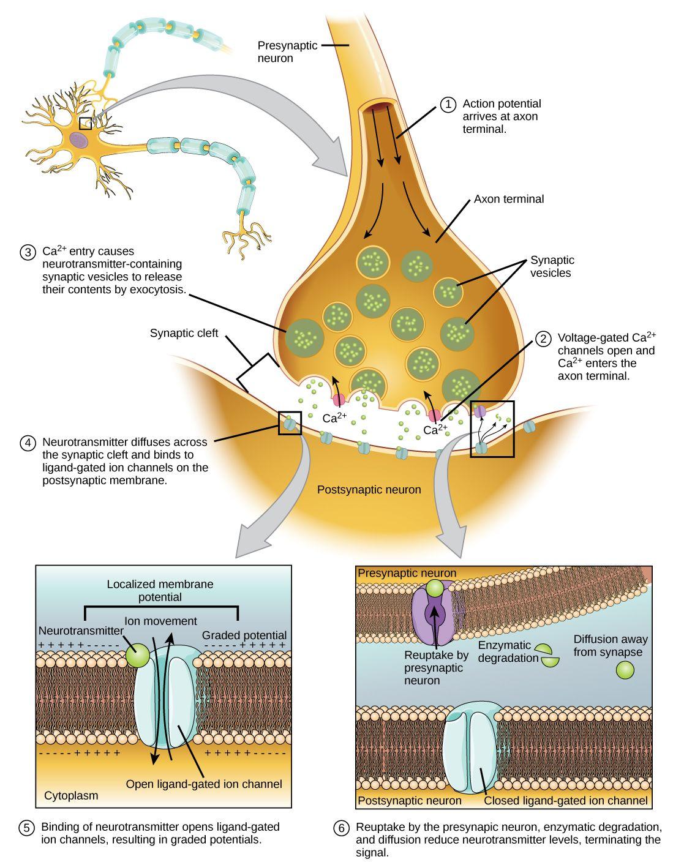 Stimulation of a neuron occur due to a local disturbance that begins ...