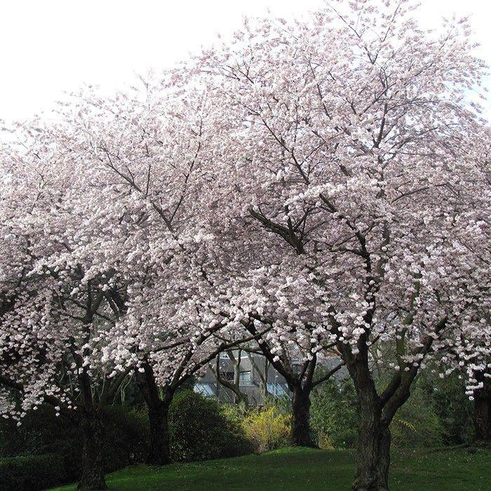 Meteor Cherry Cherry Fruit Trees Cherry Fruit Tree Fruit Trees Tree