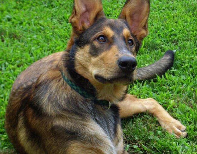 australian cattle dog mix german shepherd Australian