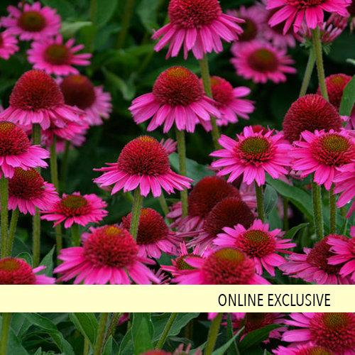 Coneflowers Easy Perennial Drought Resistant Plants Echinacea Drought Tolerant Perennials