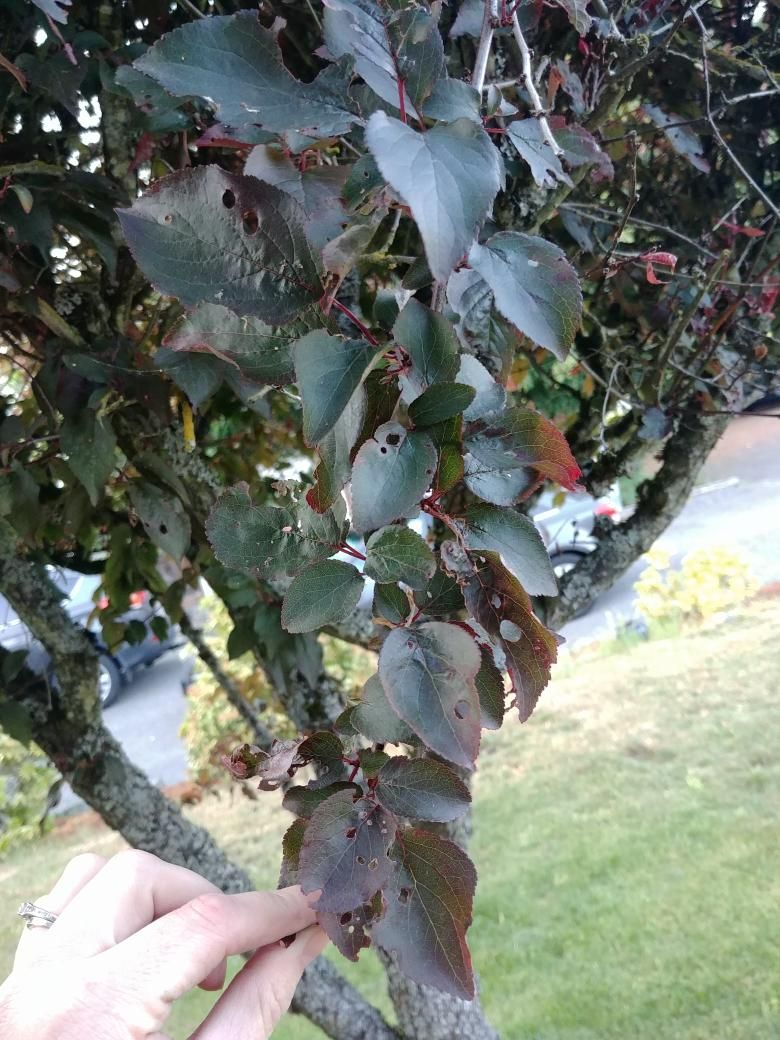 What Is Wrong With My Cherry Tree All The Leaves Are Either Wilting Have Holes Or Are Missing Easy Garden Gardening For Beginners Starting A Vegetable Garden