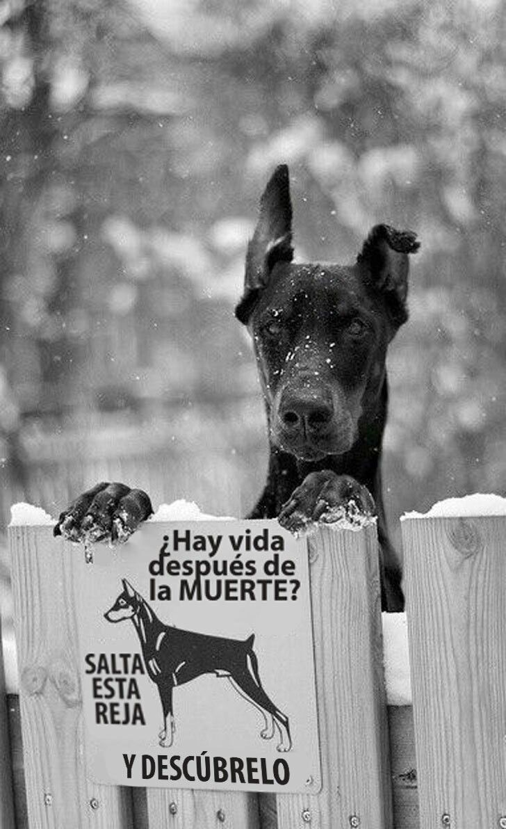 Ideas Para Carteles Para Perros Bravos Xd Angry Dog Doberman Pinscher Doberman