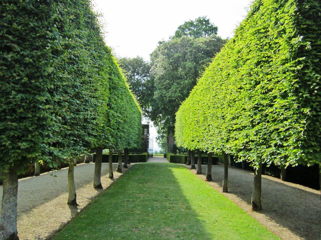 Pleached hornbeam hedge carpinus betulus 39 fastigiata for Garden trees photos