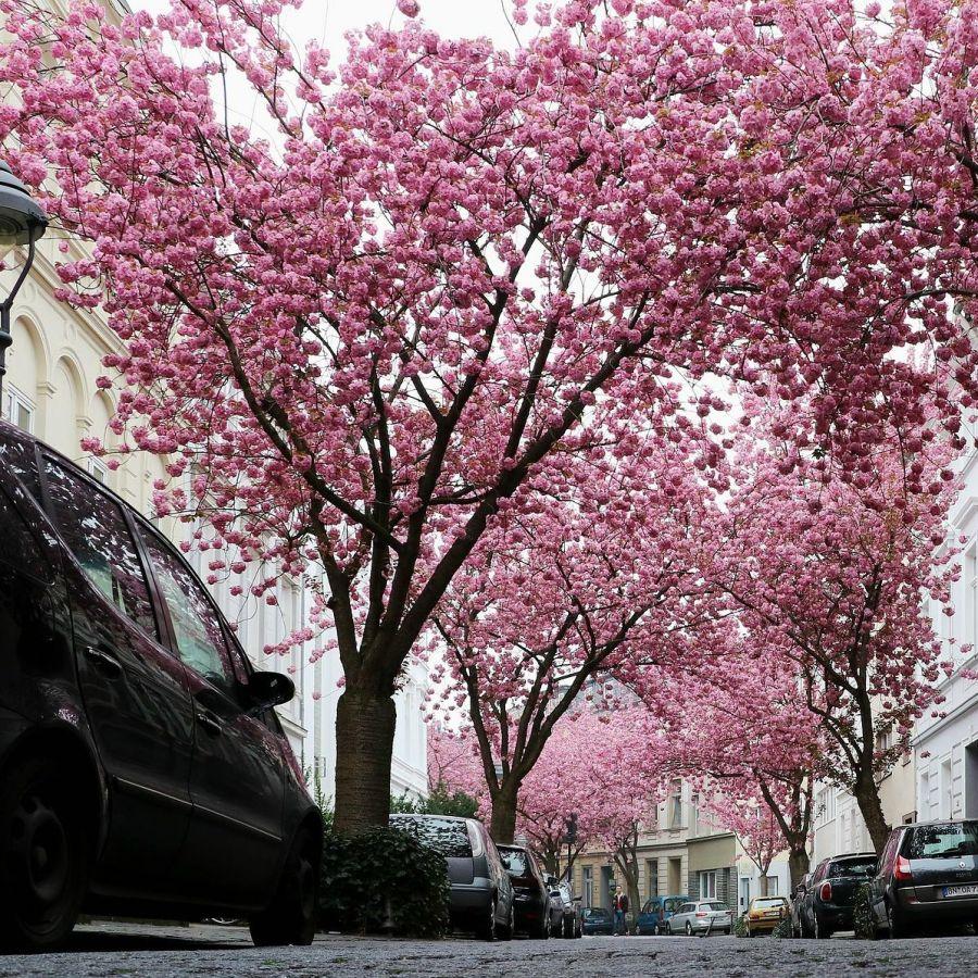 5ft Kanzan Cherry Blossom Tree Bare Root 2 Years Old 27 99 Cherry Blossom Tree Blossom Trees Cherry Blossom