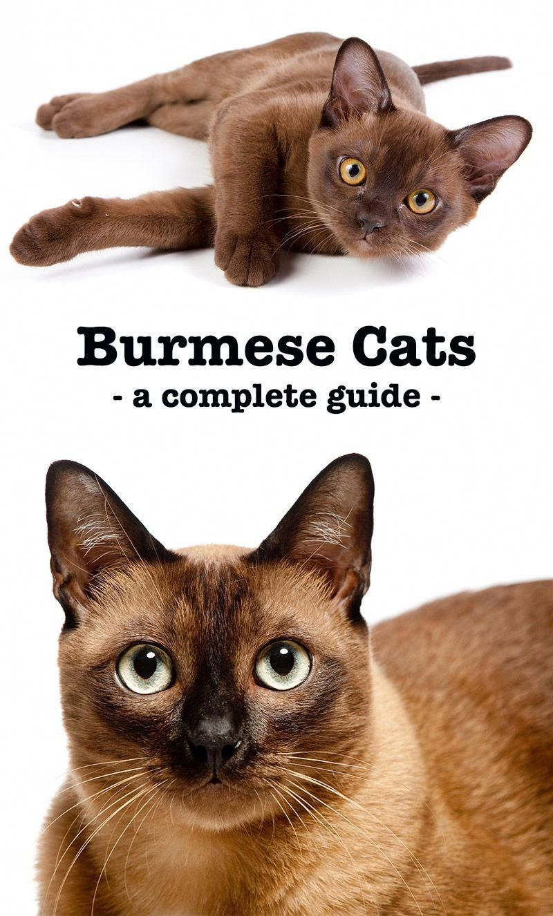 The Burmese Cat A Complete Guide To The Breed Burmese Cat Burmese Kittens Cat Breeds