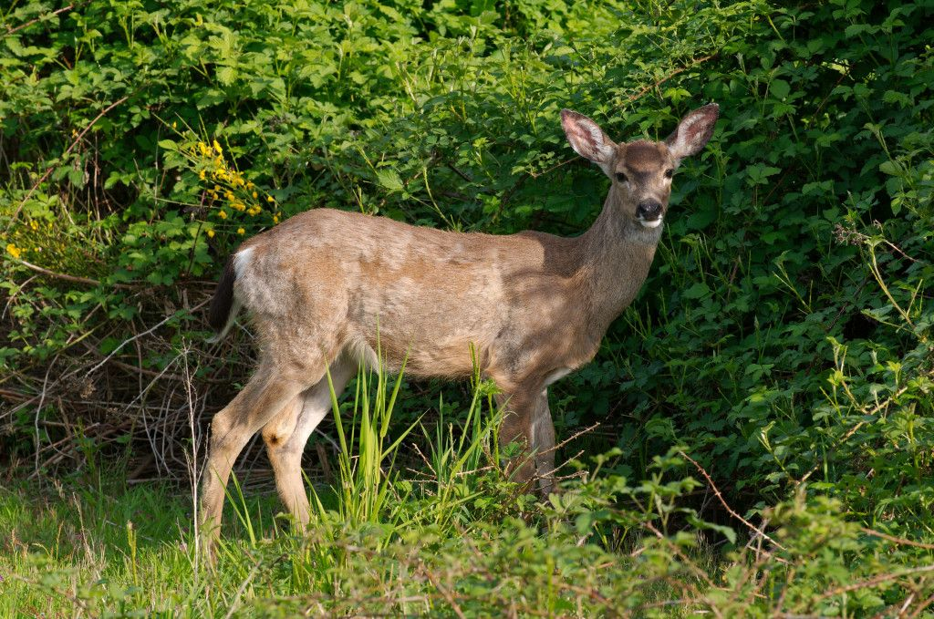Dozens of terrified deer will be caught in nets, thrown into trucks and brutally killed in a slaughterhouse in an effort to control a local deer population. Urge a homeowner's association to cancel this barbaric program.