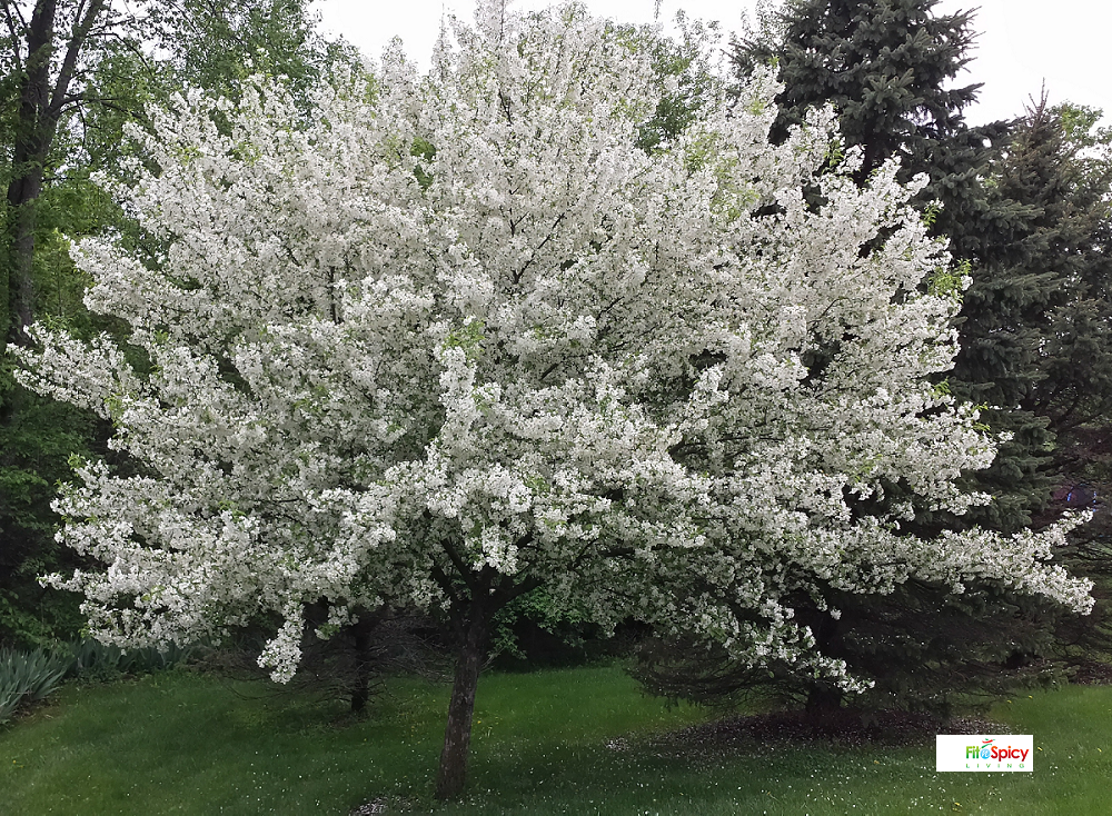 Spring Flowers Are Here In My Michigan Garden Crabapple Tree