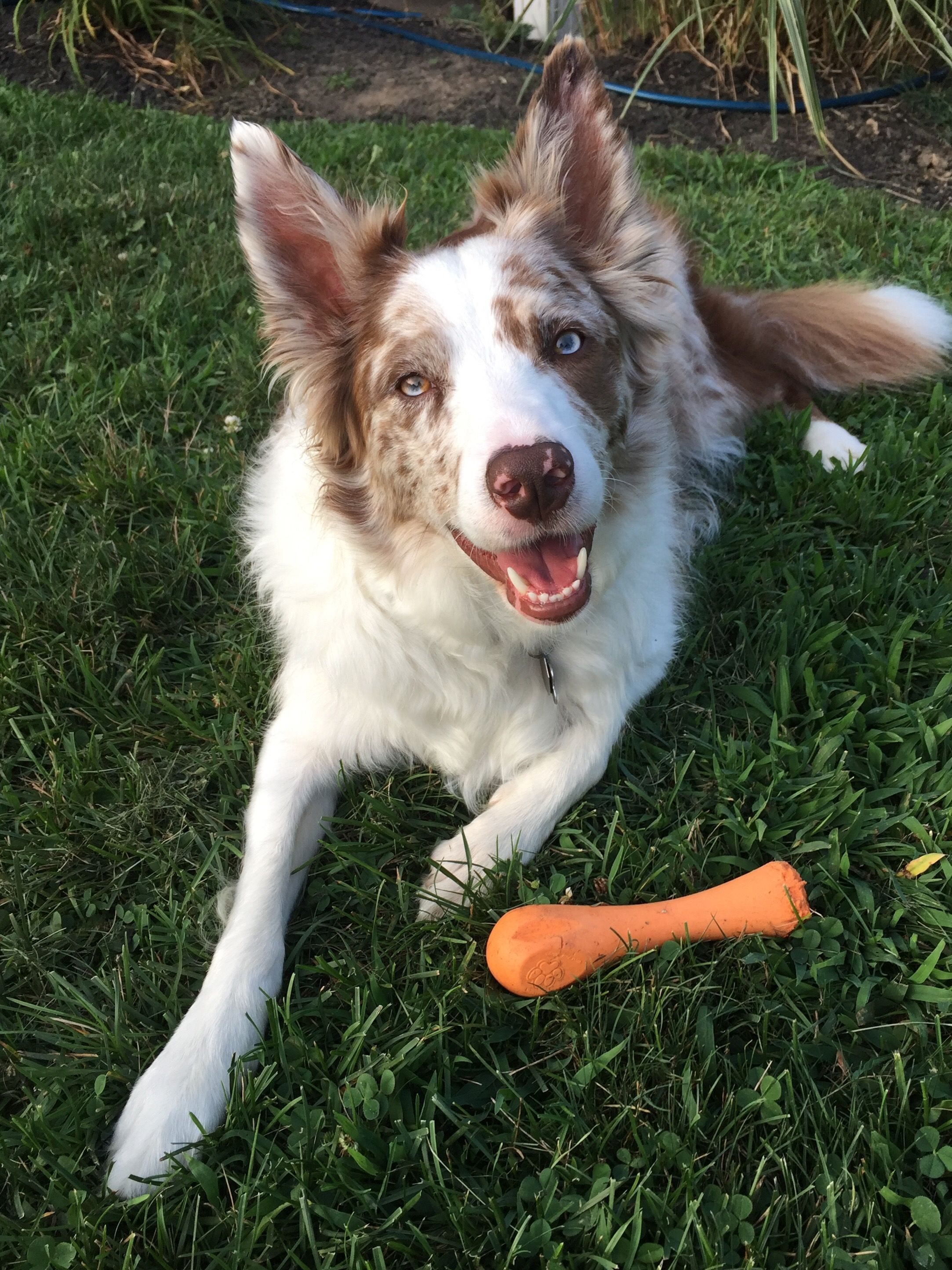 Red Merle Border Collie 3 Years Old Border Collie Red Merle