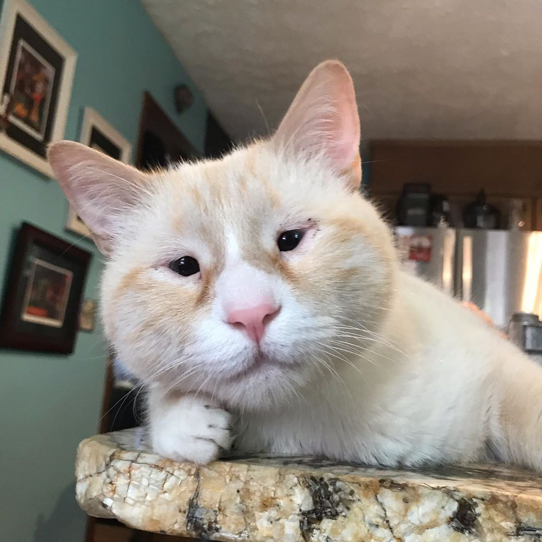 "stimkee boys ✨🧚 on Instagram: ""What is this ""get off of the counter""you speak of?  #microphthalmia  #adoptdontshop #flamepointsiamese #snowshoesiamese #catsofinstagram…"""