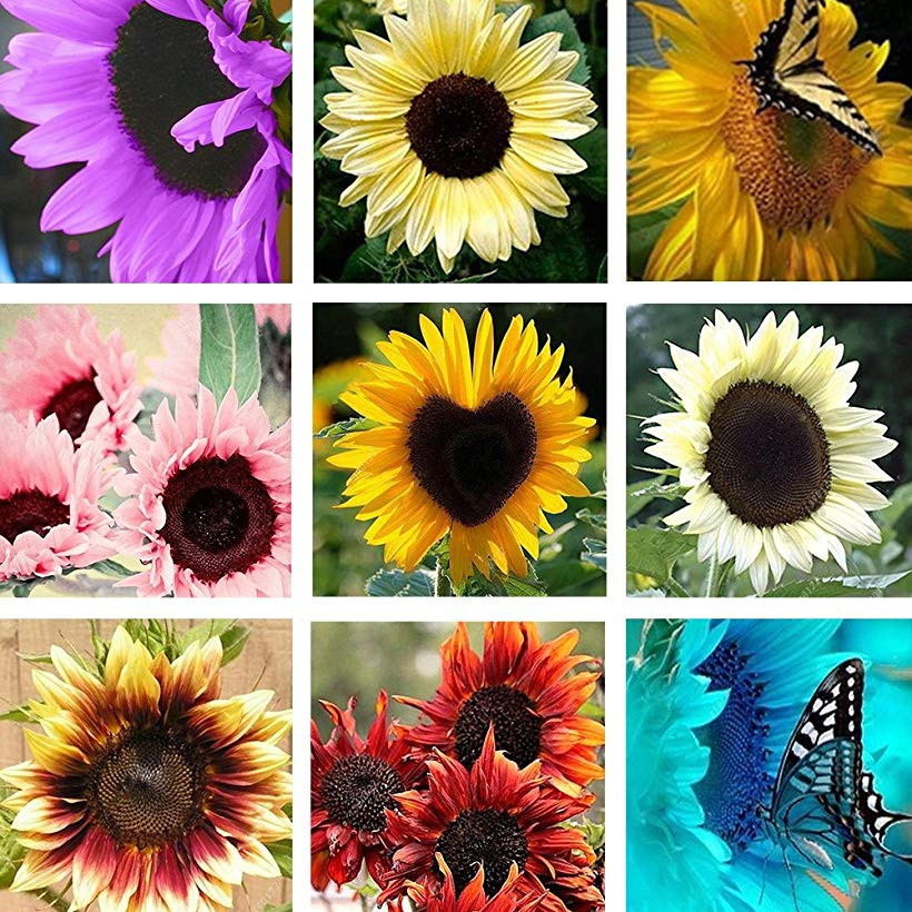 Wintefei 50 Pcs Sunflower Helianthus Annuus Seeds Easy Grow Garden Plants Bonsai Decor With Images Flower Seeds Plants Seeds
