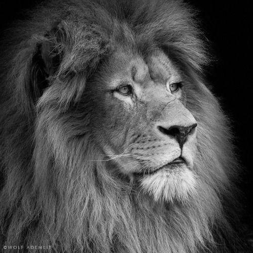 llbwwb via 500px lion profile by wolf ademeit lion pinterest