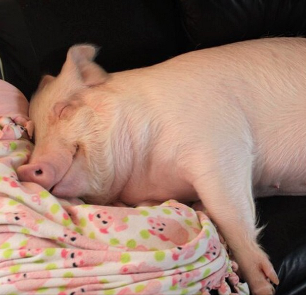 5 Happy Rescued Pigs on Instagram Who Advocate for Their Species