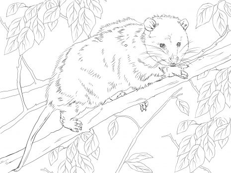 Virginia Opossum On A Tree Tree Coloring Page Animal Coloring