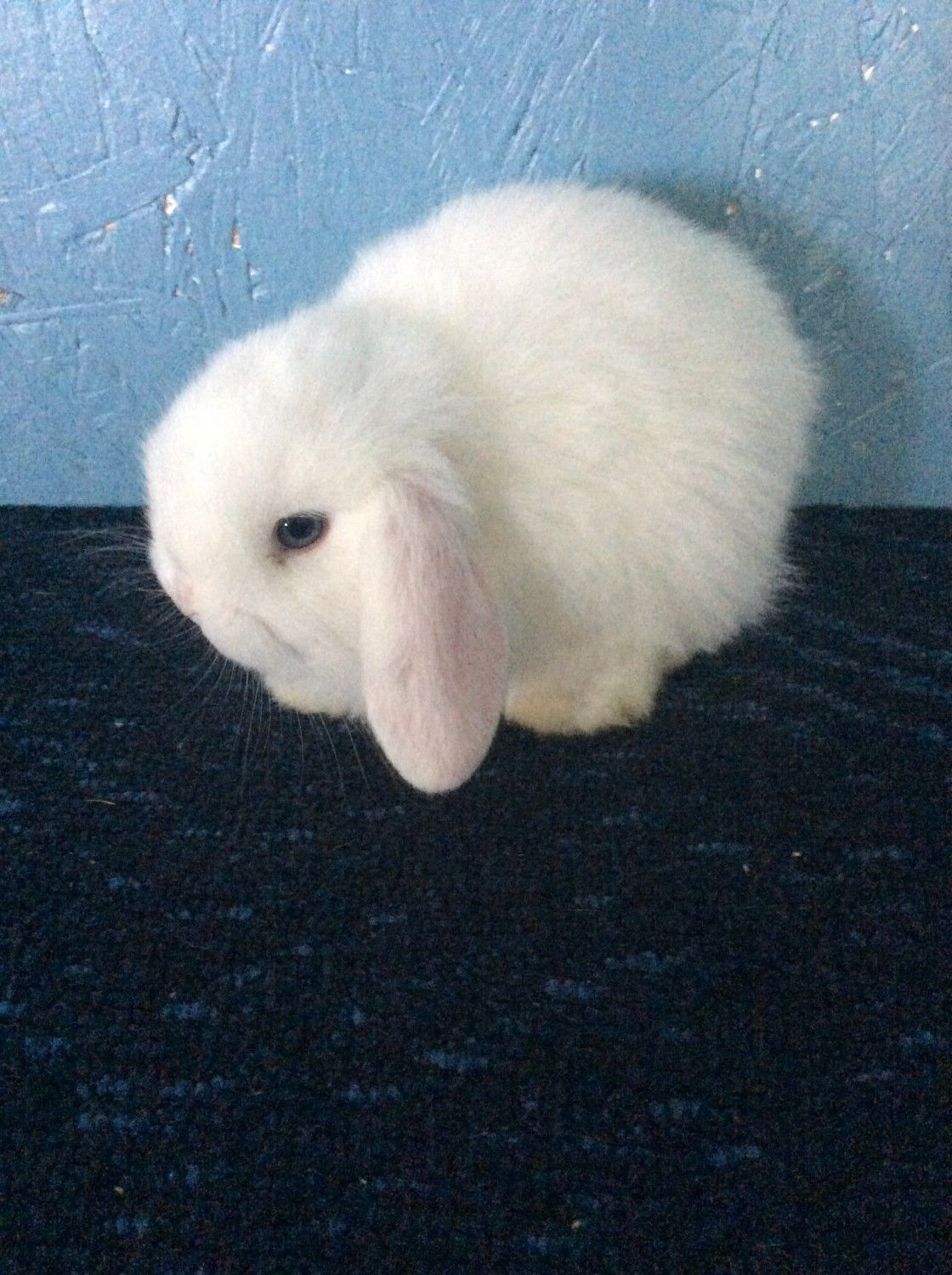 Holland Lop Rabbits For Sale Sanborn Ny In 2020 Holland Lop Rabbits For Sale Holland Lop Bunnies