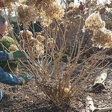 Hortensien richtig schneiden #backyardlandscapedesign