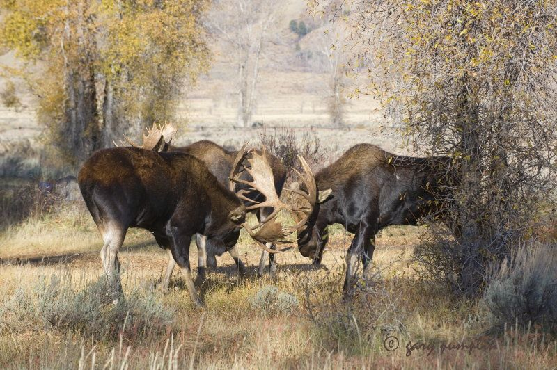 Have you ever wanted to catch the bull moose sparring