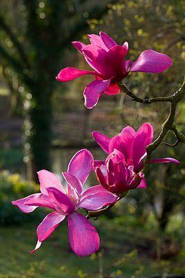 "Marwood Hill, Devon:  Magnolia sprengeri ""Marwood Spring"" - Clive Nichols Photography"