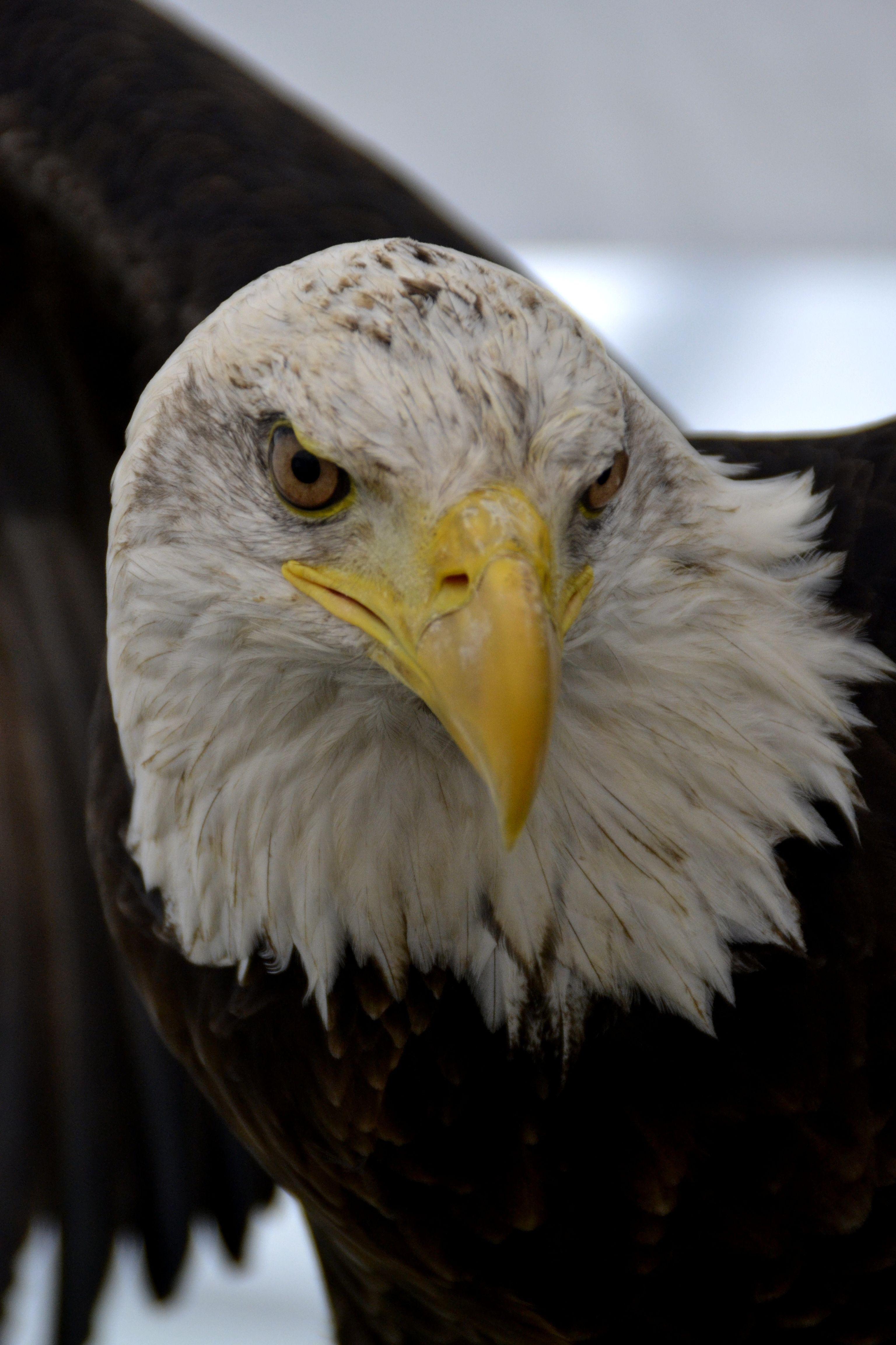 Eagle at Devon, County Show, Devon, UK