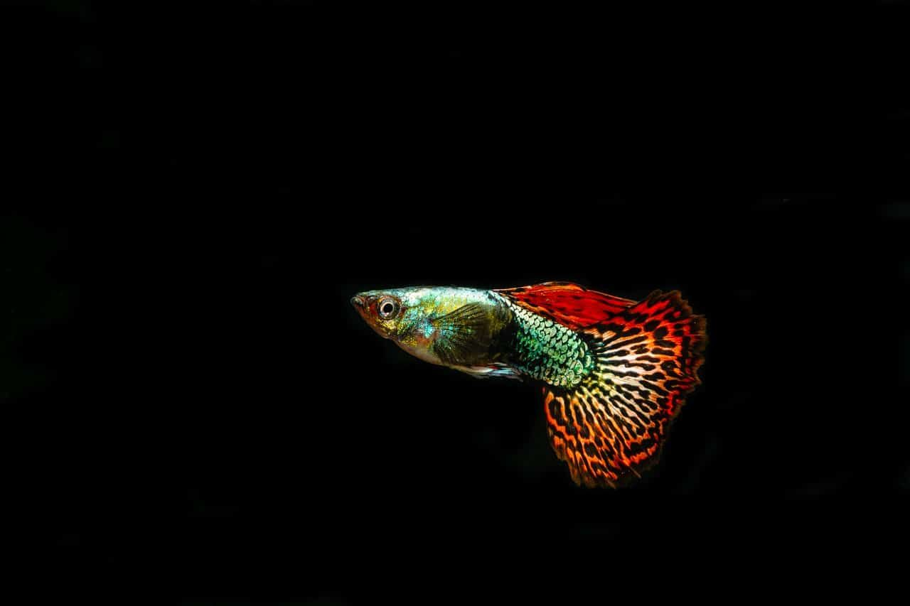 12 Compatible Neon Tetra Tank Mates With Pictures Complete Guide Neon Tetra Guppy Fish Fish