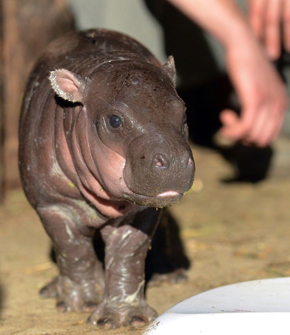 hipopotamo bebe - Google Search | hipopotamo | Pinterest | Bebe y ...