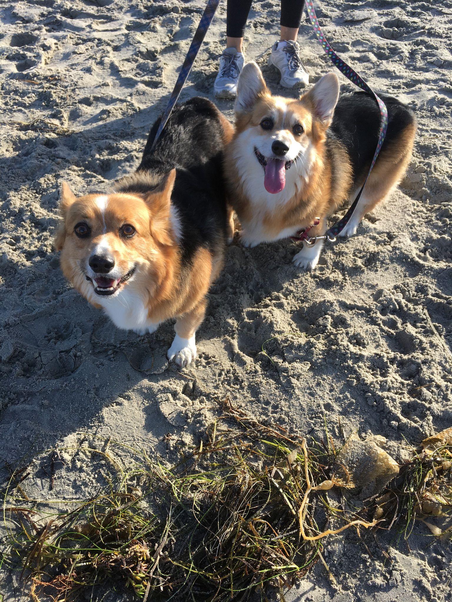 New Friends At Del Mar Beach Cute Corgis Black Pomeranian