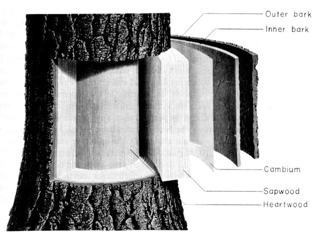 learn the basics of tree structure: parts of a tree, use bark to identify a  tree  this is a diagram, showing a cross-section of a tree and its bark  layers