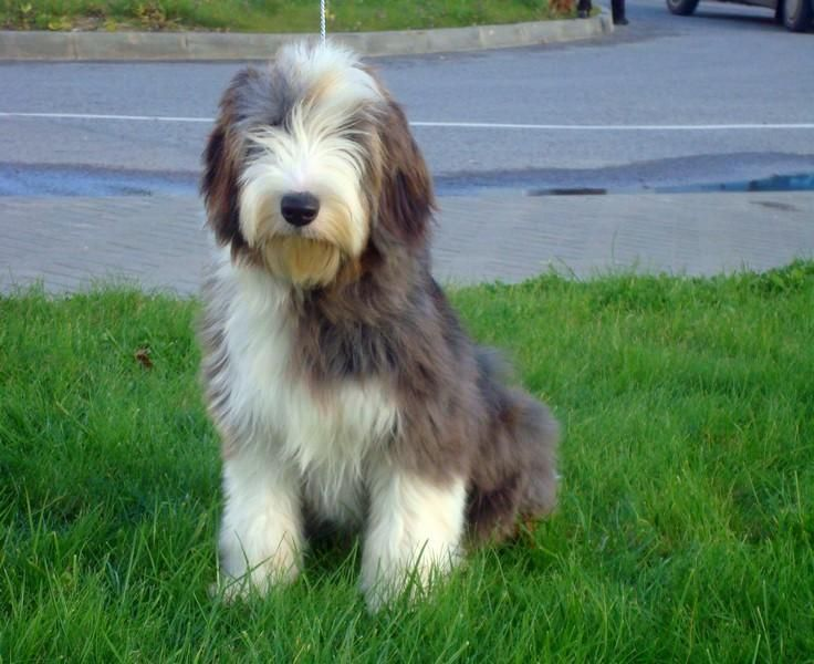 Bearded Collie Puppies Cute Puppies And Kittens