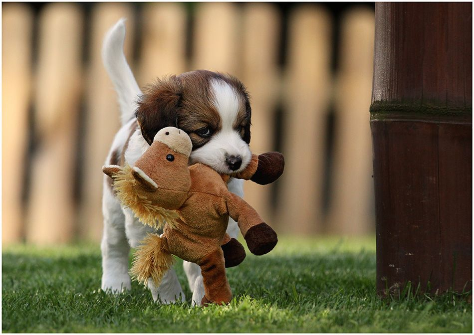Kooiker Puppy Pal Hondjes Honden Dieren